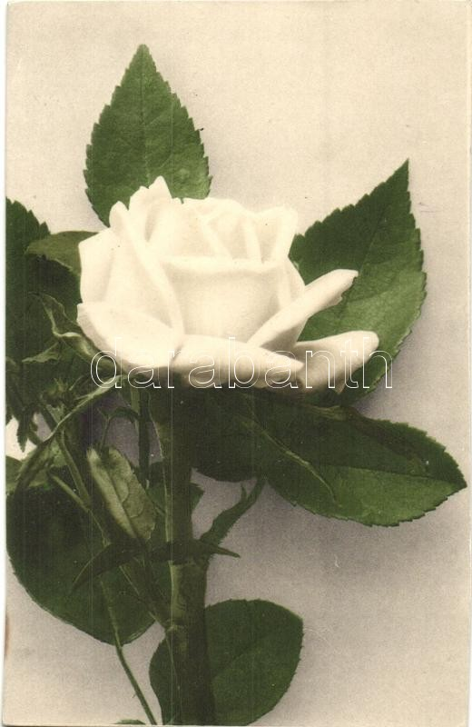 White rose, Fehér rózsa