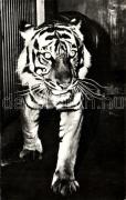 Tiger, Tigris